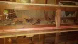 Ovos galados de codorna