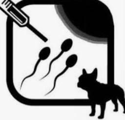 Inseminação de cães