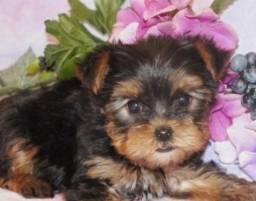 Yorkshire Terrier Machinhos Filhote Pedigree Garantia de saúde