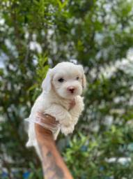Maltês Lindo, o mais belo dos filhotes hoje com pedigree