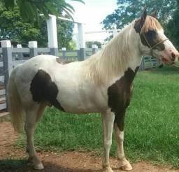 Vendo cavalo mangalarga puro .omozigoto 6 Anos de picado