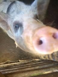 Vendo porcos acima de 100 kilos líquidacao