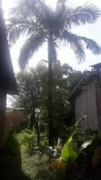 Arvore palmeira