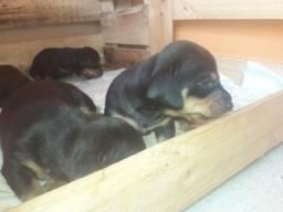 PROMOÇÃO?? filhotes de basset dachshund ( salsicha)