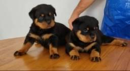 Rottweiler Cabeça de Touro - vacinados - pedigree - garantias - 119.72-7277-78