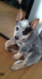 Blue Heeler filhote boiadeiro australiano com pedigree e garantia