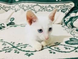 Filhote de gato macho branco