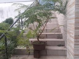 Pre bonsai de Flamboyant árvore varanda Flamboiant