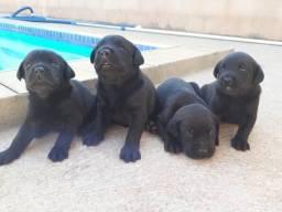 Filhotes de labrador retriver preto