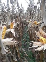Sementes milho