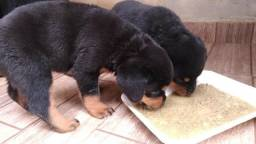 Vendo dois filhotes de hottweiler fêmea
