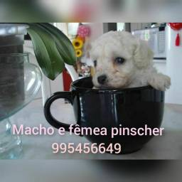 Título do anúncio: Lindos poodle micro  macho e fêmea