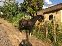 Cavalo manga larga marcha batida com papel
