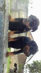Cachorro rotweiler