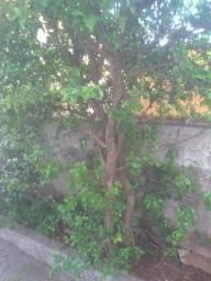 Vendo mudas de Acerola