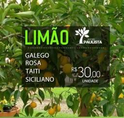 Mudas de Limão em Foz do Iguaçu, Frete Grátis