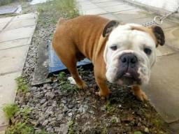 Cachorro Bulldog Em Pernambuco Olx