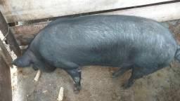 Porco caipira, suino
