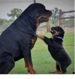 Belos Filhotes Rottweiler