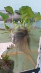 Planta aquática aguapé ou mururu