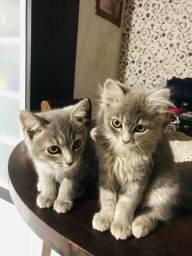 Vendo filhotes de mãe persa