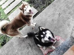 Fulhotes de husky