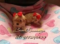Poodle mini toyzinhos (padrão e qualidade)