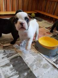Ninhada de Bulldog Francês