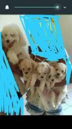 Vendo filhotes de pudle(pudou)