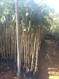 Árvore prara reflorestamento