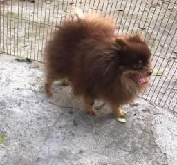 Lulu da Pomerania Chocotan em busca de uma namorada