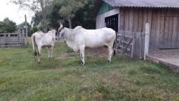 Vaca Guzera e Touro Hereford
