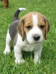 Beagle fêmea sua nova melhor amiga!