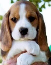 .?Lindeza.-/ Beagle/13 Polegadas com Pedigree +*+ Garantia de Saúde