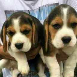 Filhotes Beagle Tricolor Mini !!! Pedigree & Garantia !!!