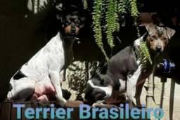 Terrier Brasileiro vulgo Fox Paulistinha