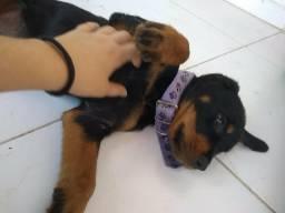 Rottweiler 2 meses femea