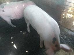Vende se duas porcas buchudas e seis porcos
