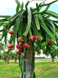 Mudas de Pitaya (Dragon Fruit) Vermelha e Branca