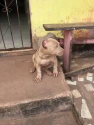 Filhote de pitbull monster 2 meses