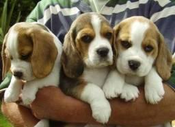 Beagles verdadeiras