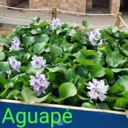 Aguapé, planta aquática 4 mudas por 10,00