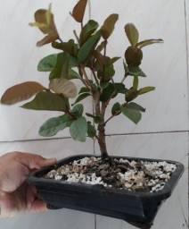 Bonsai de  goiaba 5 anos