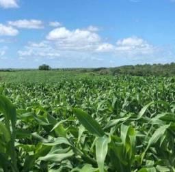 Título do anúncio: Sementes de milho verde Hibrida BRS 3046 Super saboroso