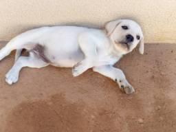 Filhote labrador fêmea