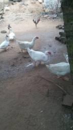 Patos paysandu