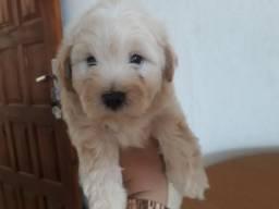 Vendo filhote de poodle com maltês