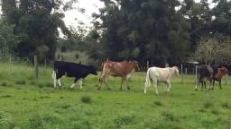 Vendo vacas.touros.cavalos.rs