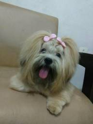 Cão da raça Lhasa Apso( macho )