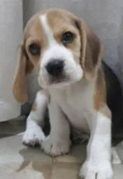 Beagle belíssimo e disponível